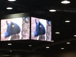 Spencer's pig on the big screen Tulsa 2018